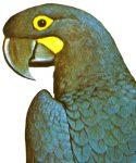 Anadorhynchus glaucus